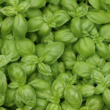 Basil 'Genovês' Biodynamic Seeds - Organic and Demeter Certified