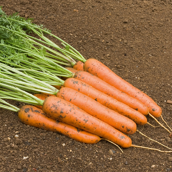 Carrot 'Rodelika' Biodynamic Seeds - Organic and Demeter Certified brought to you by TheBiodynamic.store