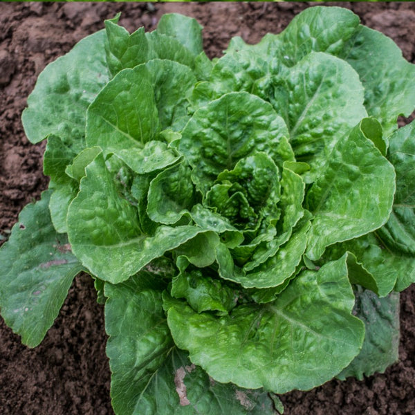 Lettuce 'Valmaine' Biodynamic Seeds - Organic and Demeter Certified brought to you by TheBiodynamic.store
