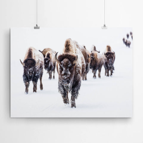 Bison Buffalo Art Print