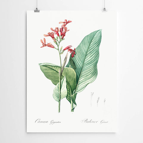 Canna Flower Vintage Botanical Print