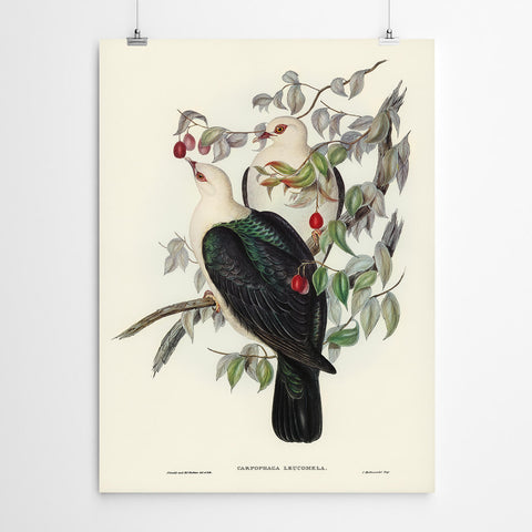 Carpophaga Vintage Bird Print