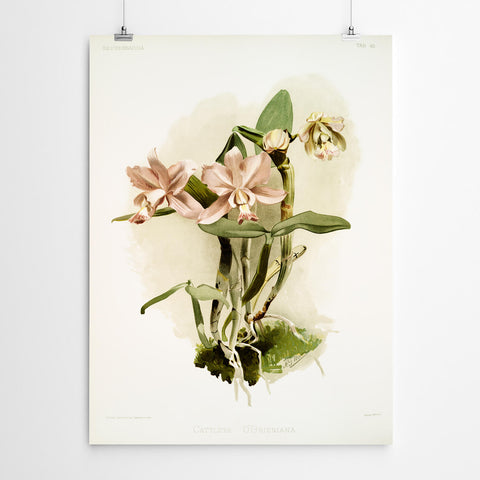 Cattleya Orchid Wall Art