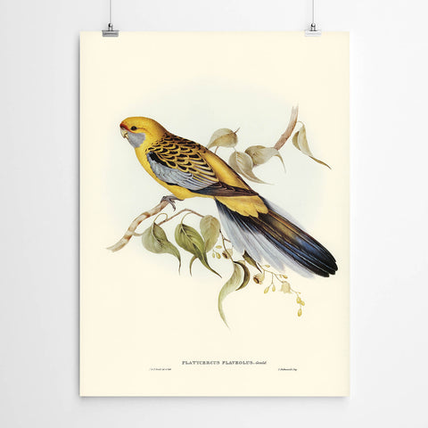 Patycercus Flavelous Vintage Art Bird Print