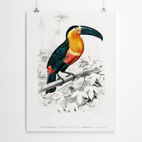 Vintage Toucan Bird Prints