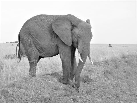 African-Elephant-In-Deep-Thought-Black-and-White