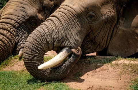 African Elephant Trunk - Photo by Magda Ehlers from Pexels