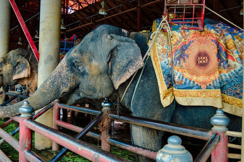 Asian-elephants-giving-rides-to-tourists