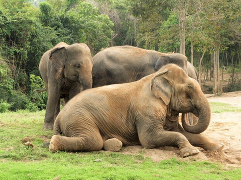 Asian Elephants Relaxing - Photo by Katie Hollamby