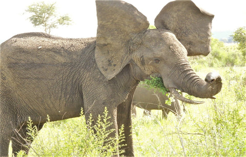 Baby Elephant Flapping its Ears - African Elephant