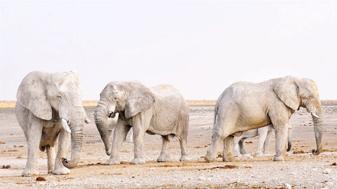 Three African Elephants -African Elephant Tuskers