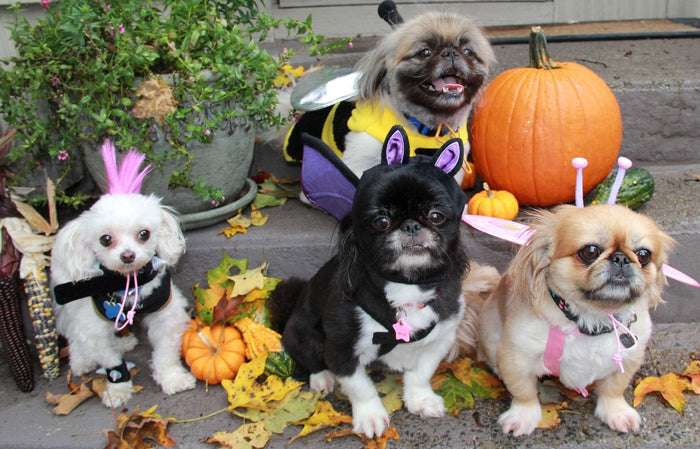 Easy Ways to Dress Your Dog For Halloween