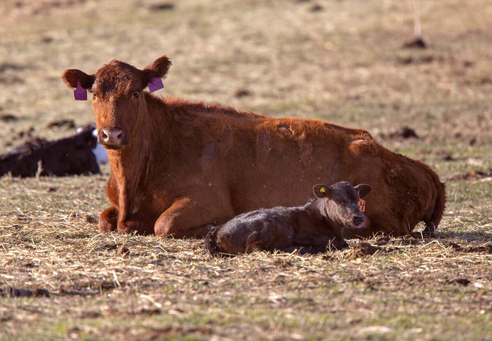 A Comprehensive Guide to Calving