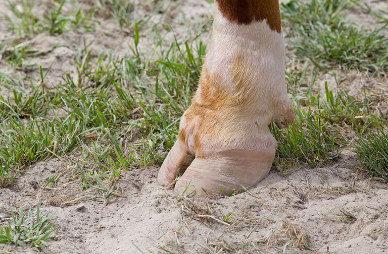 Create a hoof care plan to prevent lameness in cattle