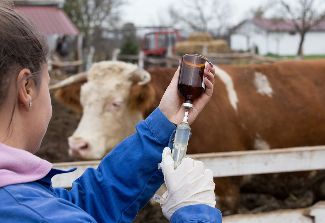 Handle cattle vaccines properly