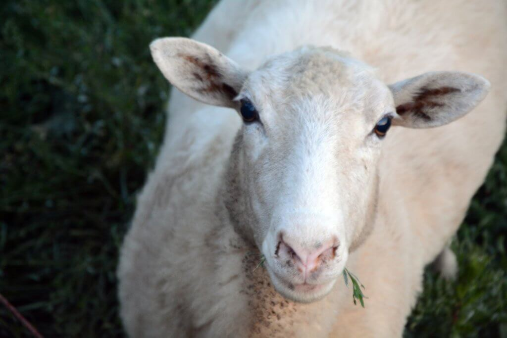 Tissue sampling is a quick method of DNA collection for sheep, cattle, game, and swine