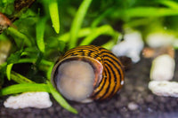 10 x Tiger Nerite snails, Fresh Water Snail