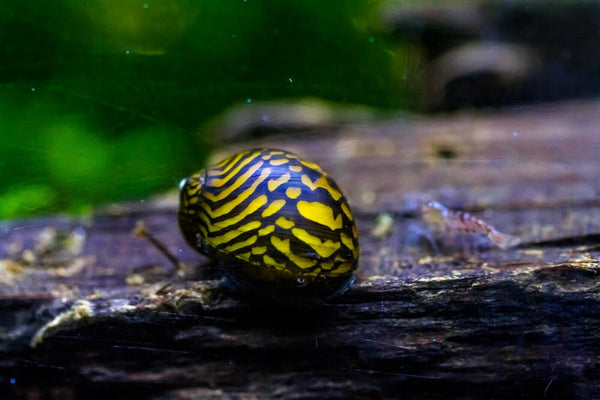Nerite Snails Mixed Pattern (Neritina natalensis)