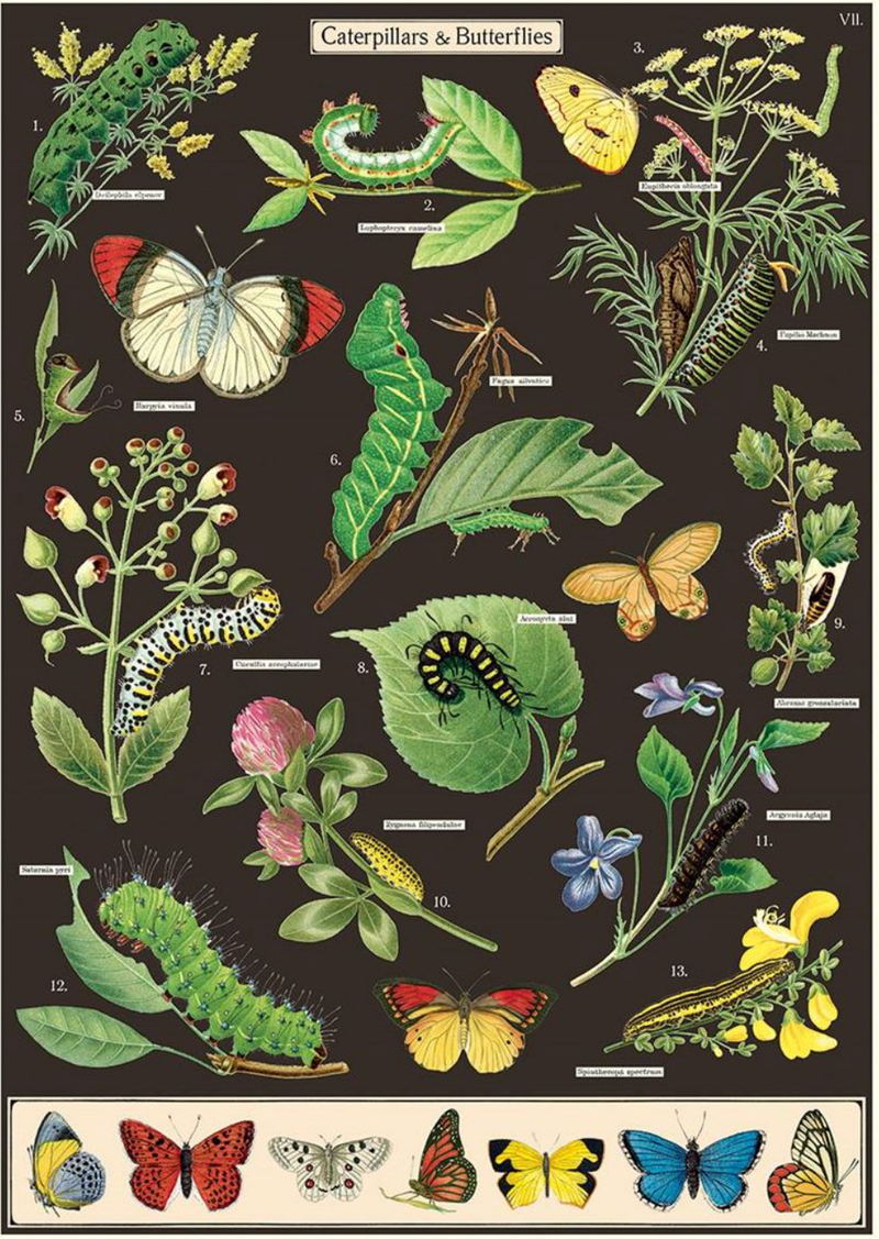 Caterpillars & Butterflies Poster
