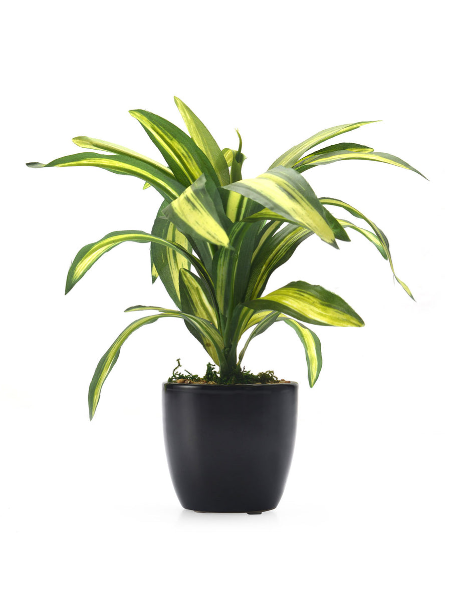 Dracena Potted Plant (Green)