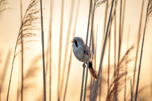 Laden Sie das Bild in den Galerie-Viewer, Bearded Tit