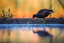 Laden Sie das Bild in den Galerie-Viewer, Moorhen