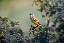 Laden Sie das Bild in den Galerie-Viewer, Yellow Wagtail