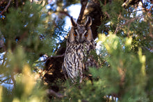 Laden Sie das Bild in den Galerie-Viewer, Long-Eared Owl