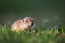 Laden Sie das Bild in den Galerie-Viewer, Ground Squirrel