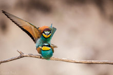 Laden Sie das Bild in den Galerie-Viewer, Bee-Eater