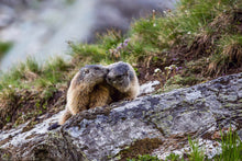 Laden Sie das Bild in den Galerie-Viewer, Groundhog Couple