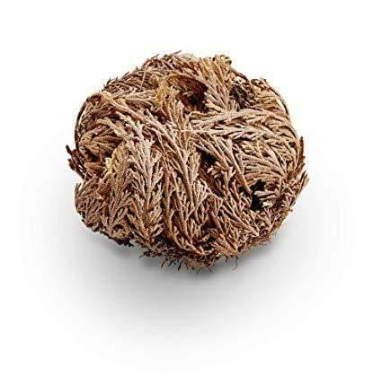 Rose of Jericho - 9-energy.myshopify.com
