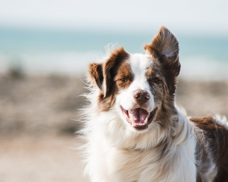 Boswellia and turmeric for dogs: A powerful combination