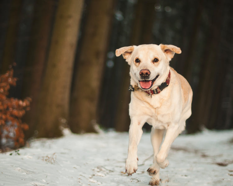 Ingredient Review: Hyaluronic Acid for Dogs