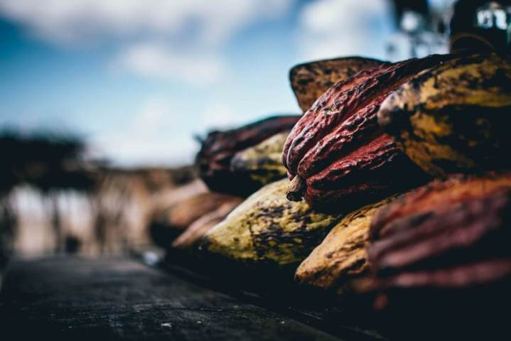 harvested cacao in a pile blurred background