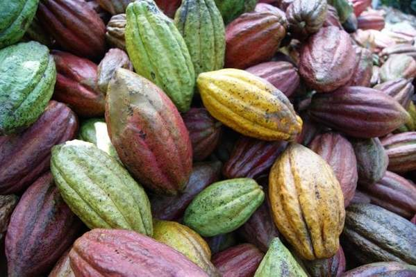 many pieces of cacao of varying ripeness based on color