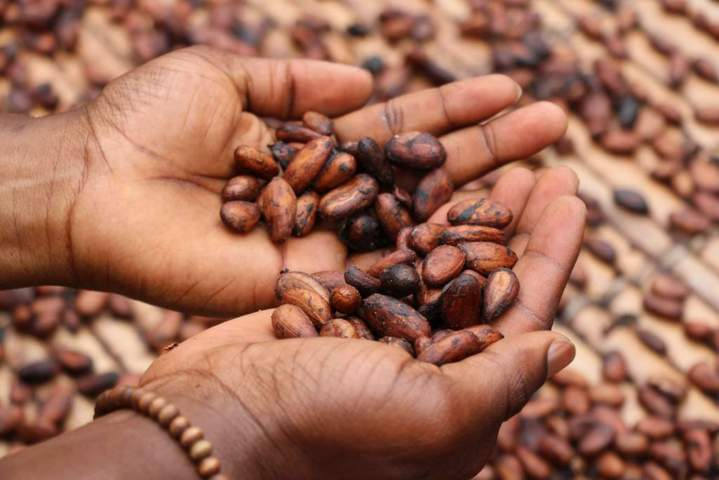 open hands holding toasted cacao seeds top view