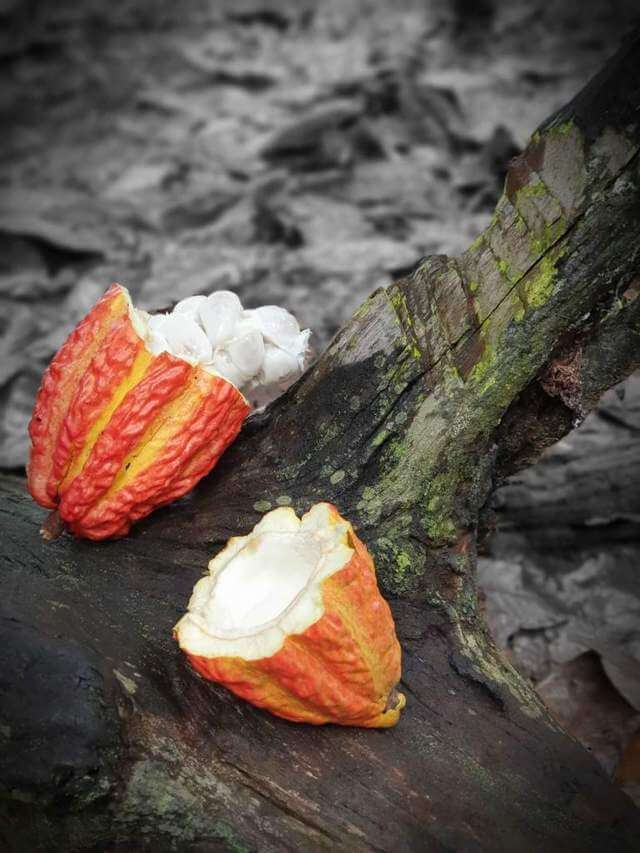 cacao cut open in half with seeds placed on tree bark