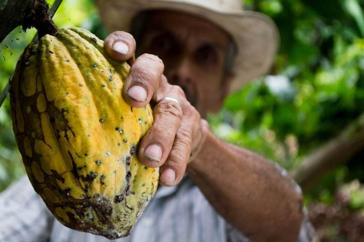 old man holding yellow cacao close up view
