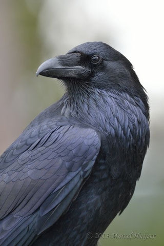 March Bird of the Month Club Raven