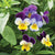 'Edible Flowers' Cutting Garden Collection
