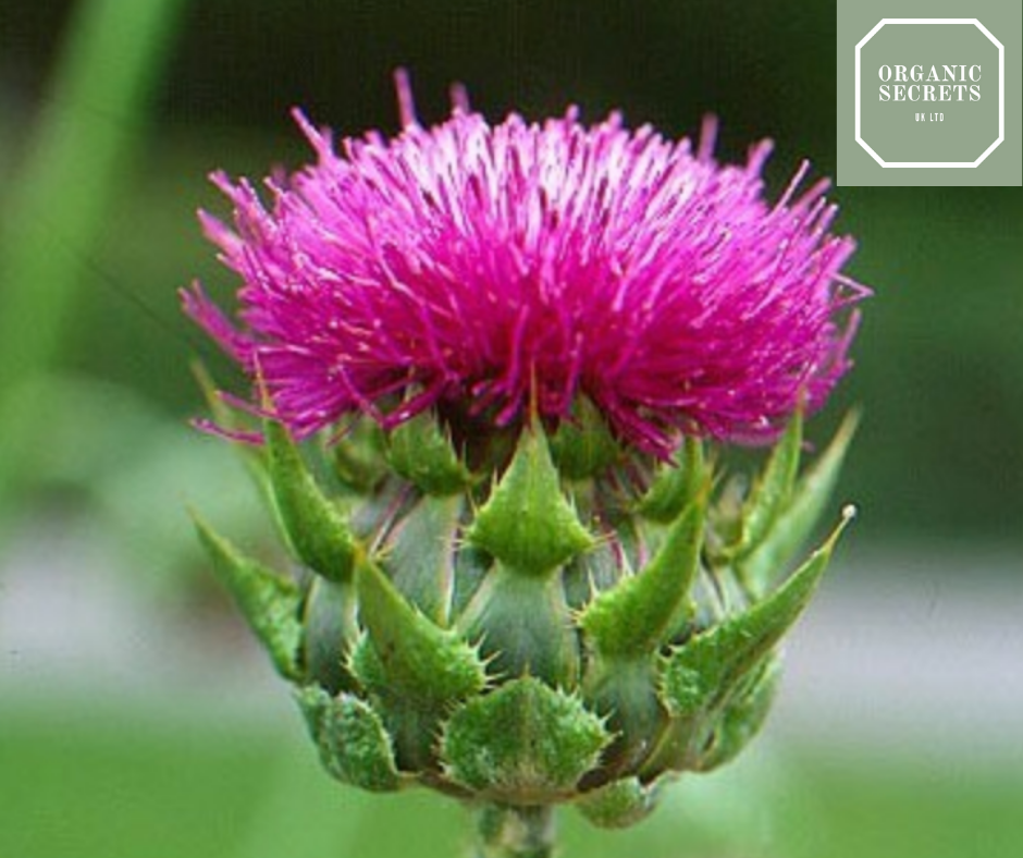 How Milk Thistle Protected My Liver From My Bad Habit!