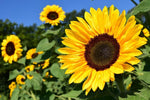 7 Reasons to Add Sunflower Oil to Your Skin Care Routine | Sweet Nectar Beauty