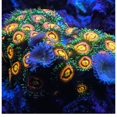 Rainbow Incinerator Zoa STOCK