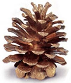 "3-4"" Ponderosa Pine Cone with Gold Finish - Case of 100"