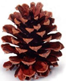 "3-4"" Ponderosa Pine Cone with Natural Lacquer Finish - Case of 100"