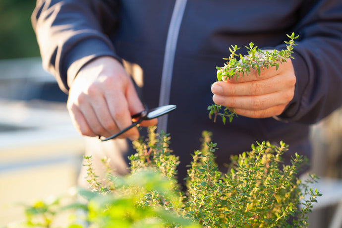 The Top Three Evergreen Herbs