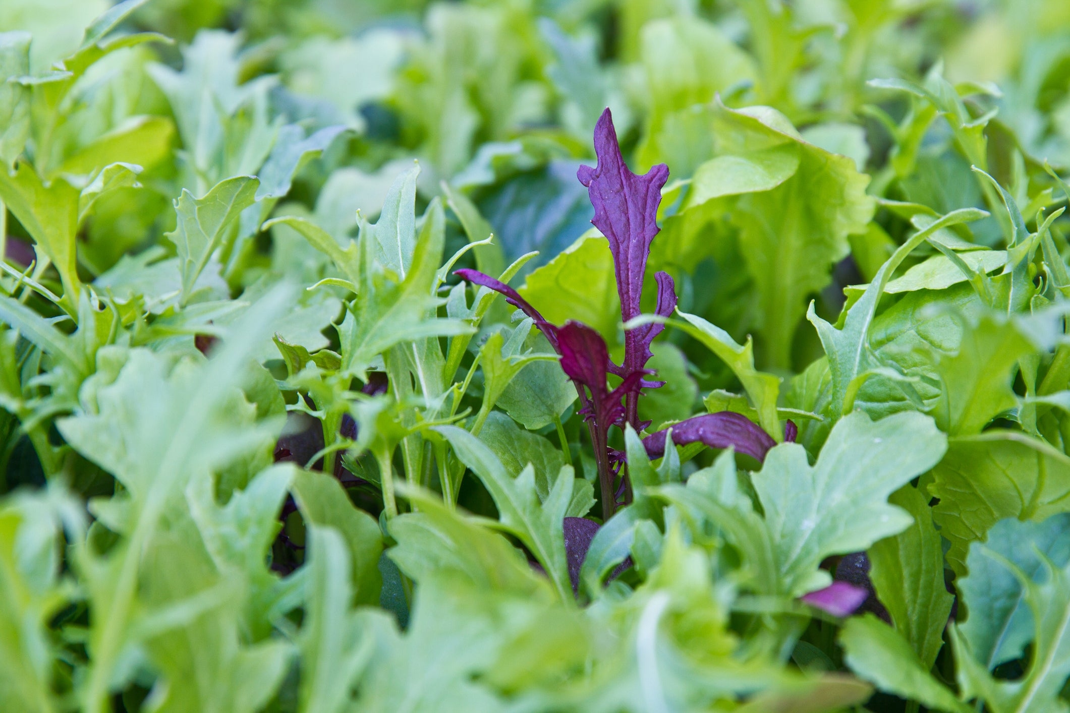 Mix green salad in the garden