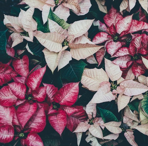4 Plants For The Holiday Season (And Winter)