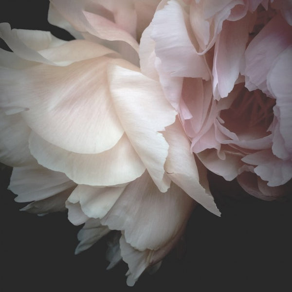 Katie Clulow Photography Collection - Peony